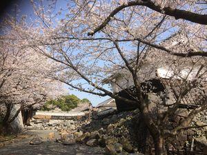熊本城さくら1.JPG