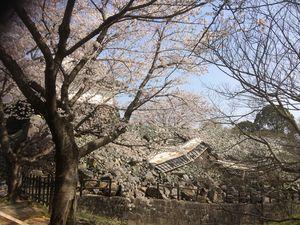 熊本城さくら2.JPG