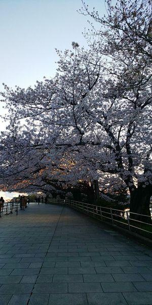 c 桜.JPG