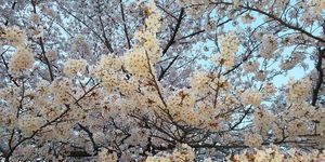 d 桜.JPG